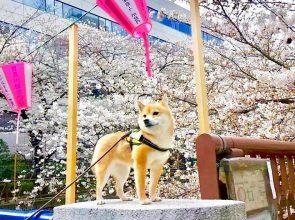 Tokyo Cherry Blossoms 2018